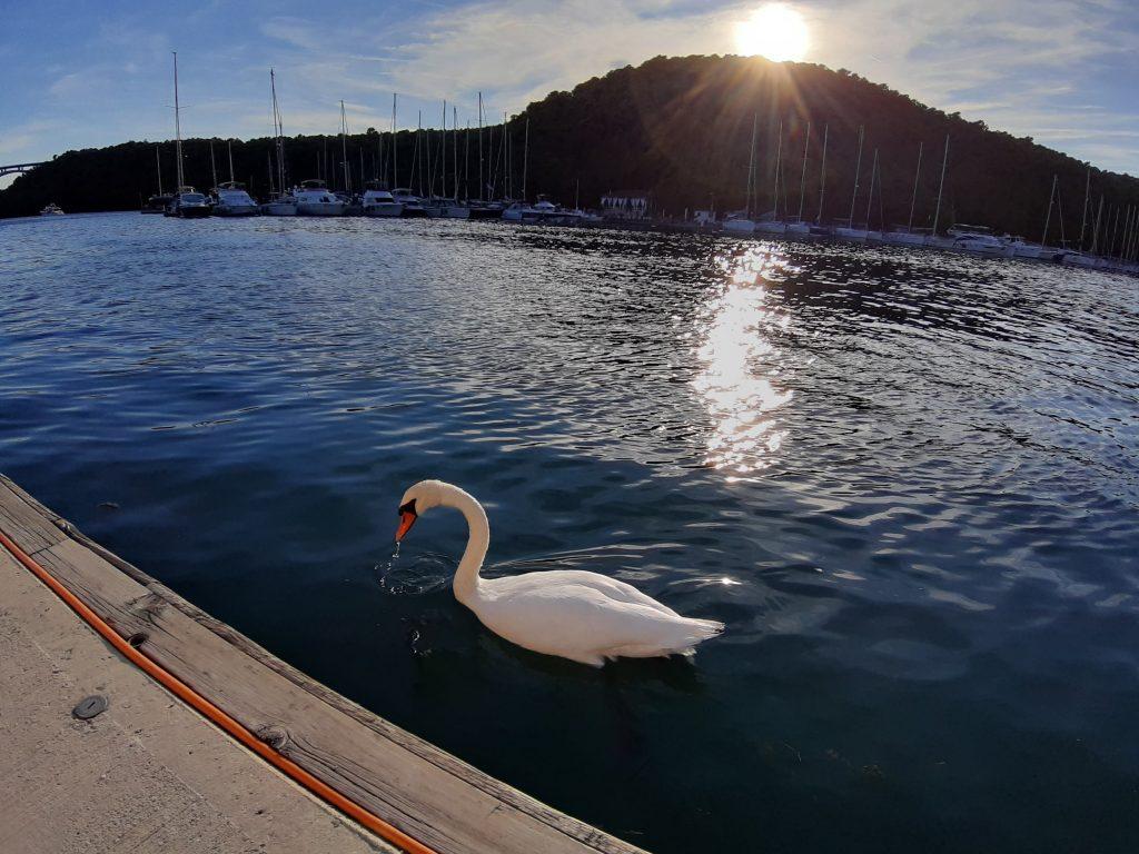Cisnes en el embarcadero para coger el barco que te lleva al Parque Nacional de Krka